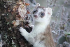 winter stoat 2